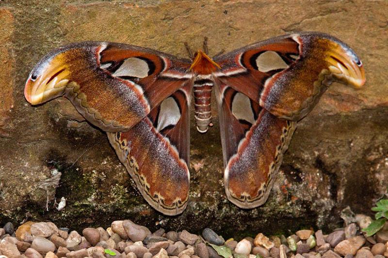 Atlas Moth 24-10-2011)