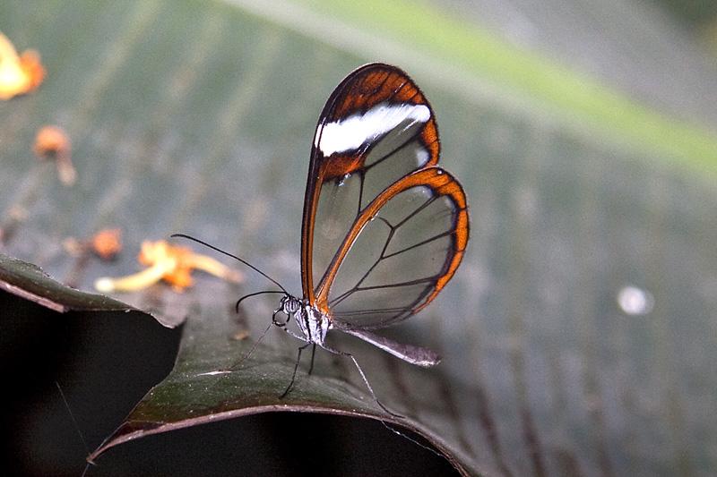 Clearwing butterfly 02-11-2009)